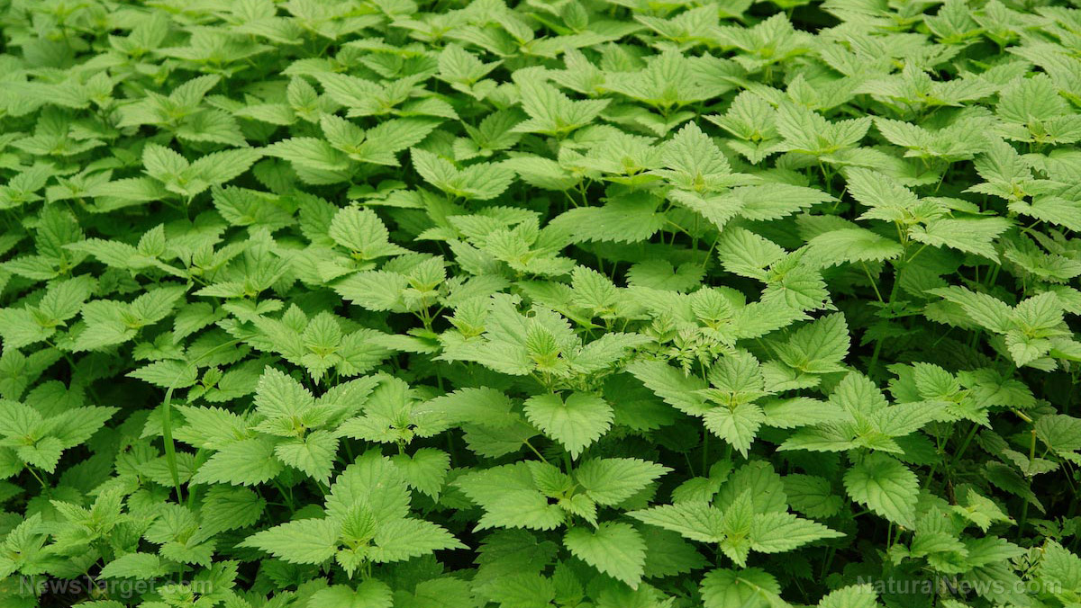 Image: Stinging nettle can be used to remedy diabetes, rheumatoid arthritis, and allergic rhinitis