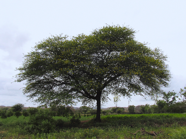 Image: Researchers find the extract of gum arabic tree to be an effective treatment for malaria