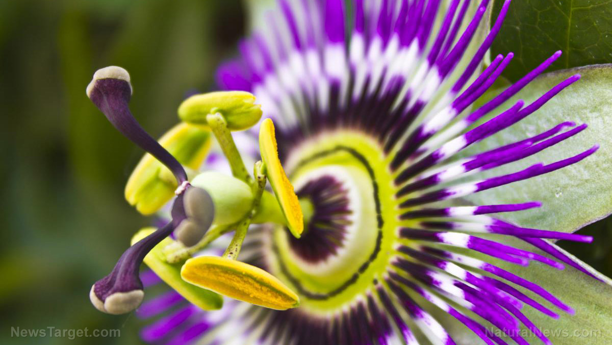 Image: Passionflower can reduce anxiety in just 30 minutes