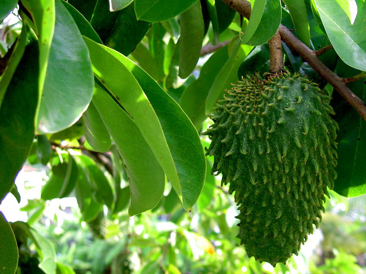 Image: Soursop (graviola) leaves found to be an effective natural remedy for triple negative breast cancer