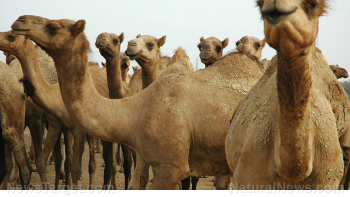 Image: Camel's milk found to reduce the risk of cardiovascular disease from hypertension