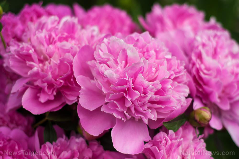 Image: The pretty peony shows promise in reversing the adverse effects of a high-fat diet