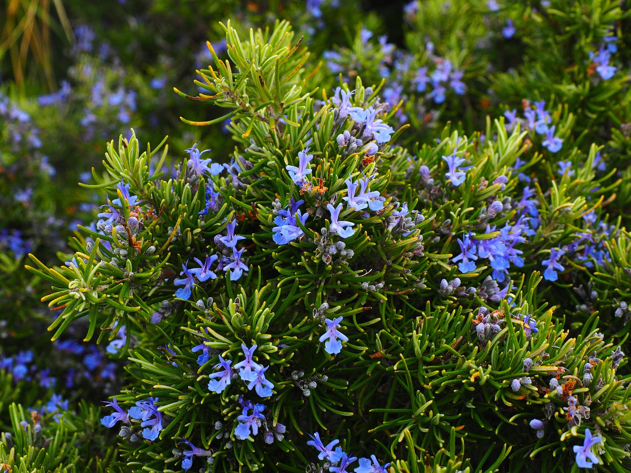 Image: Rosemary oil scientifically documented as a natural medicine treatment for stress