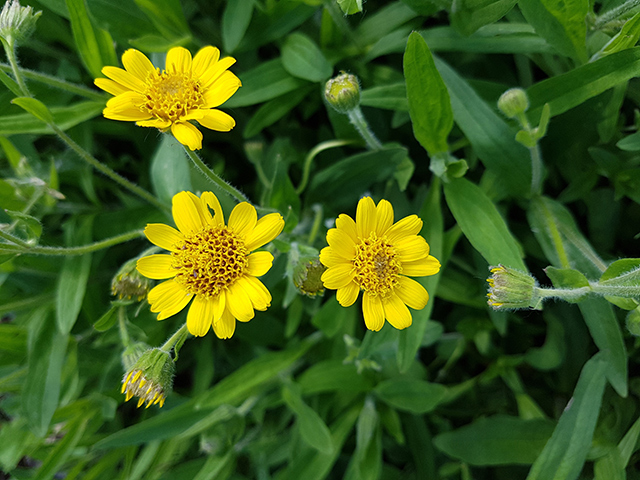 Image: Have you heard of wolf's bane? This pretty yellow plant has many medicinal uses