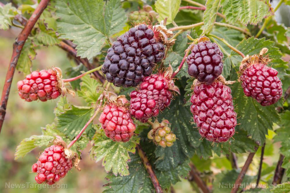 Image: Japanese study concludes that boysenberries help maintain vascular stability