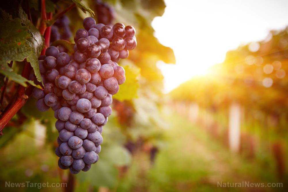 Image: A winemaking byproduct found to have potential for naturally managing blood sugar levels