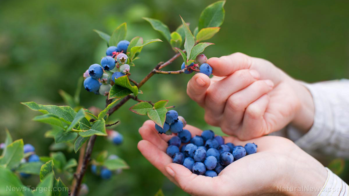 Image: Eating a cup of blueberries a day protects you against heart disease and cancer, scientists discover