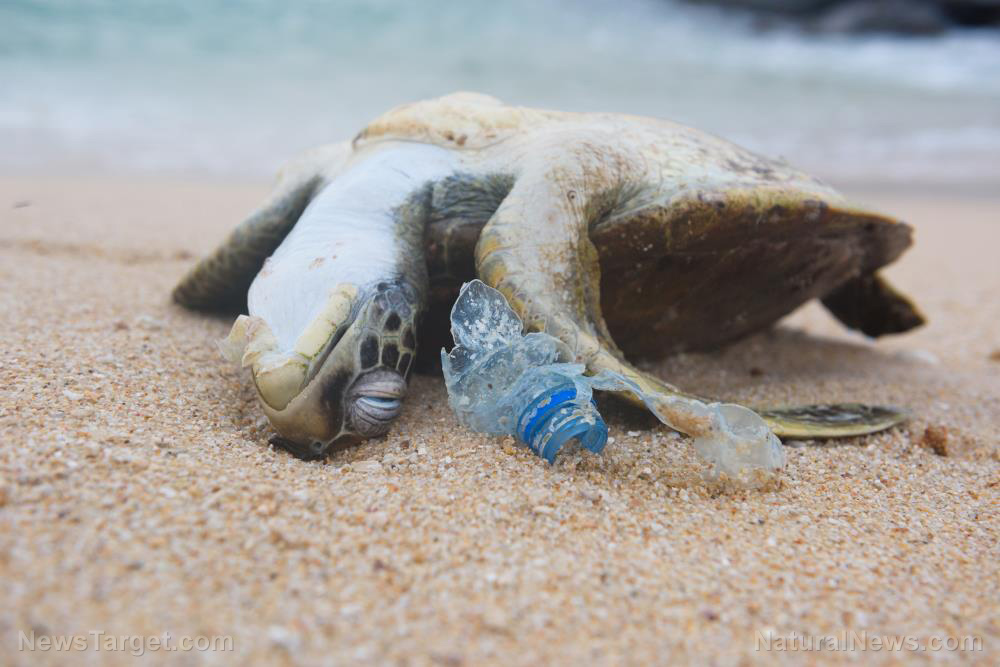 Image: Plastic pollution threatening the health of baby sea turtles
