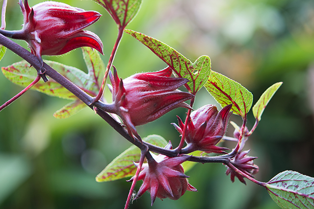 Image: Daily consumption of roselle can improve heart health