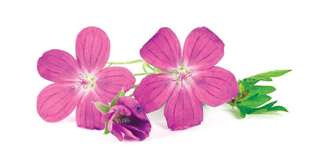 Image: Study finds geranium demonstrates antidepressant and anxiolytic properties