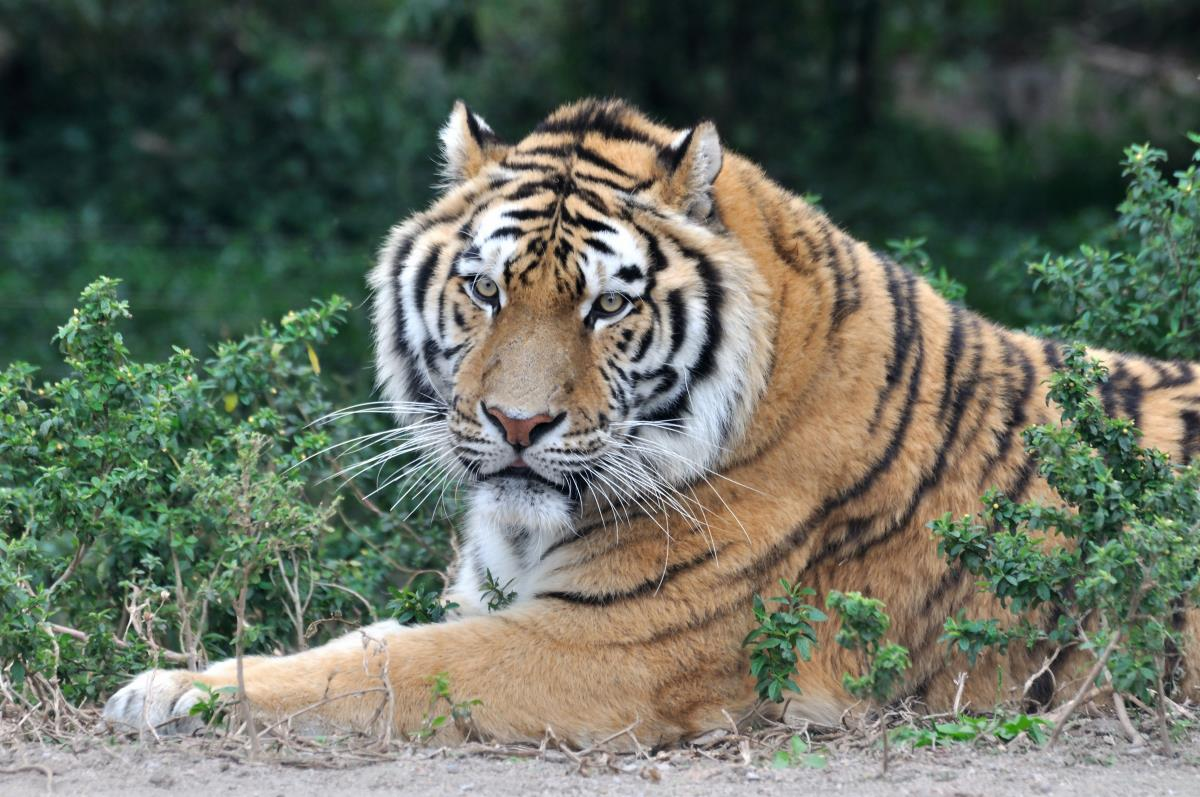 Image: Tigers found to assist farmers and livestock owners by protecting domesticated animals from other threats