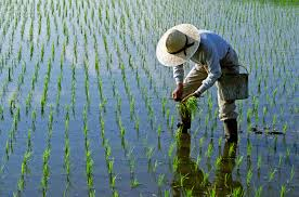 "Image: Researcher develops ""saltwater rice"" that could potentially feed up to 200 million people"