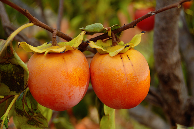 Image: The persimmon tree shows promise as a natural remedy that can improve blood circulation
