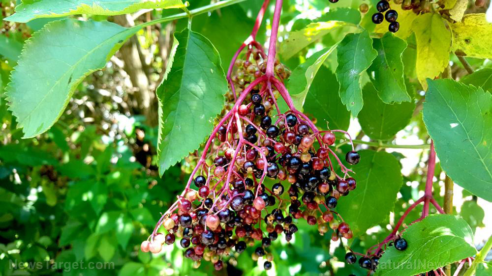 Image: Elderberries are more effective than vaccines at protecting you against colds and flu
