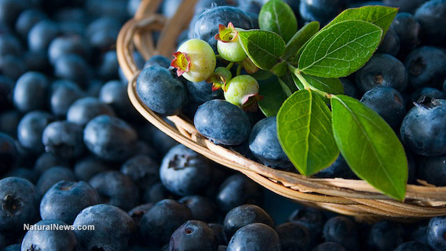 Image: Consumption of juice from Vaccinium angustifolium, wild blueberry, found to provide cardioprotective effects including improved blood pressure for Type 2 diabetics