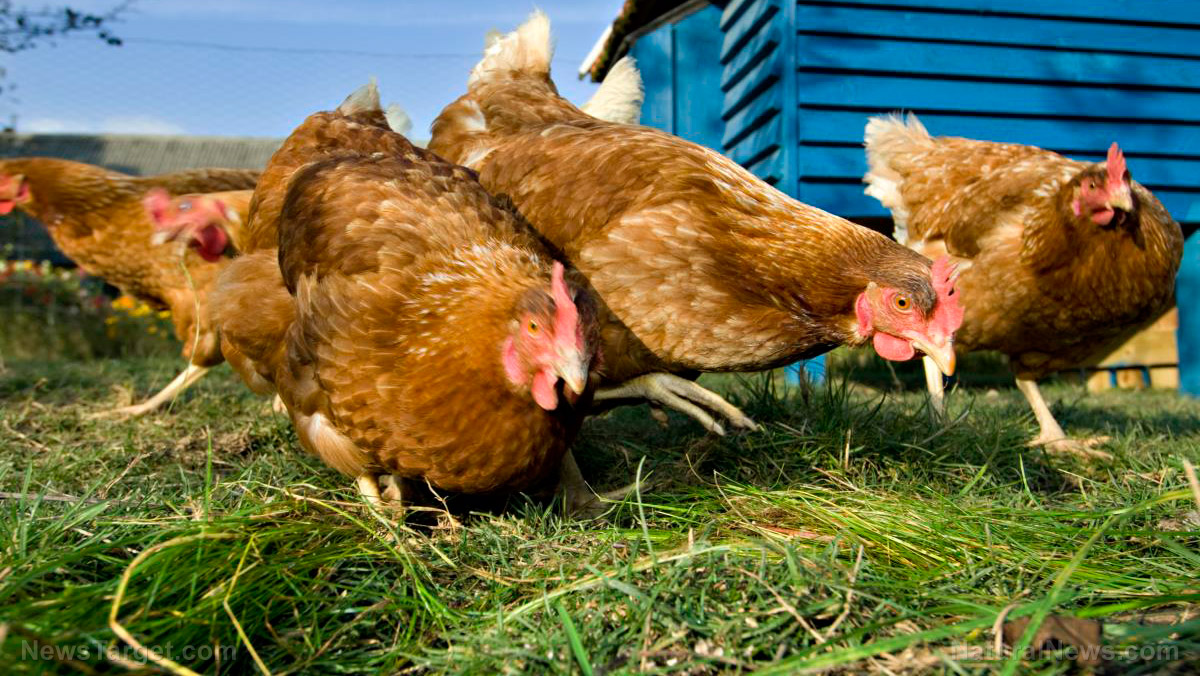 Image: Protecting your chickens from heat stress: How to make your own homemade electrolytes for poultry