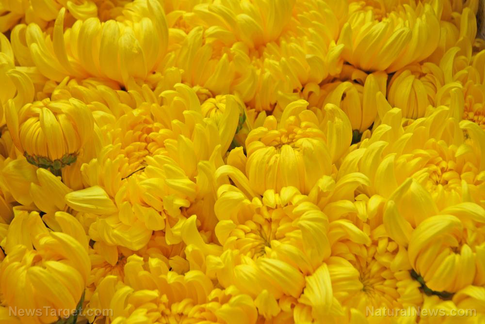 Image: Chrysanthemums hold potential for use as a natural pesticide