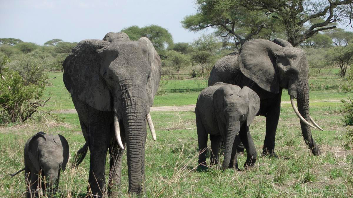Image: Elephants have a gene that makes them resistant to cancer: Scientists find we have it too