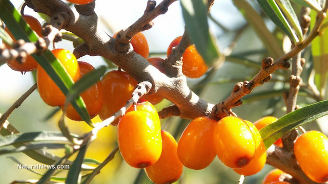 Image: The Swiss Army knife of plants — why sea buckthorn oil is such a powerful remedy