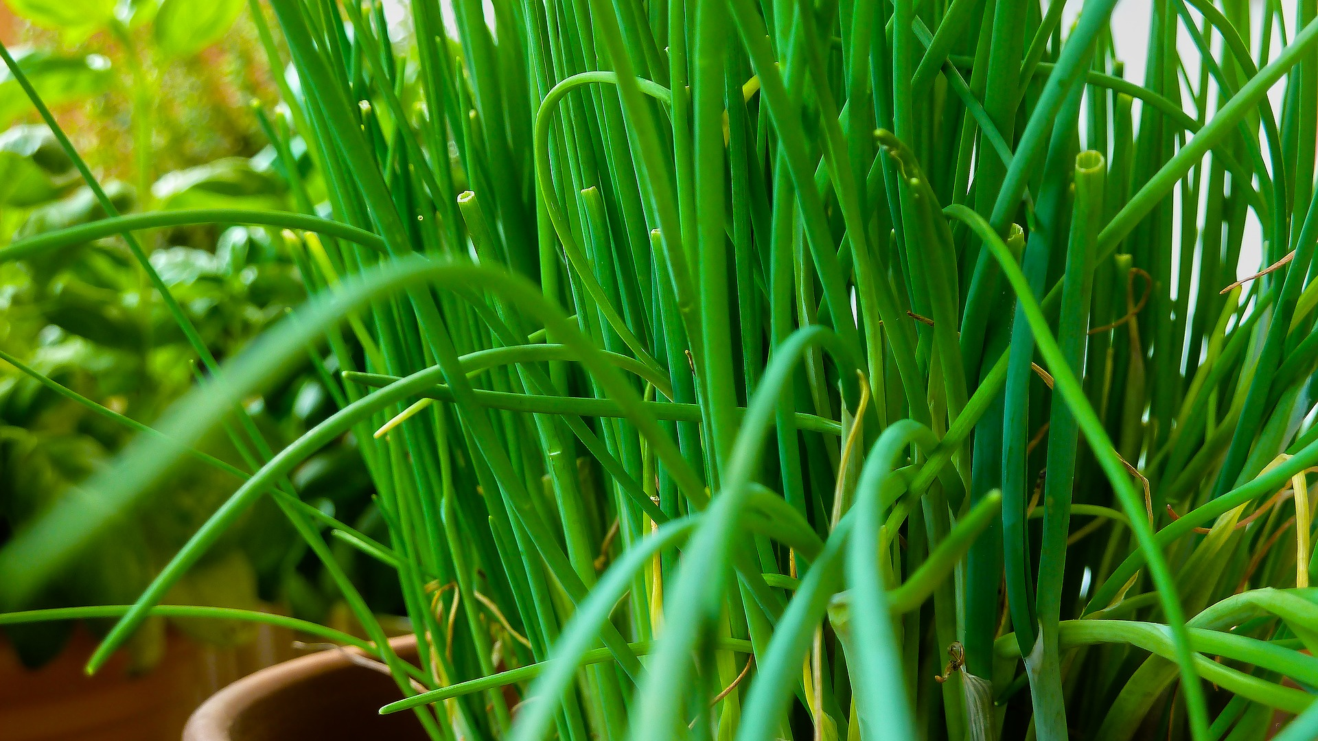 Image: How to grow a fresh supply of chives