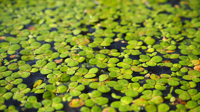 Image: Weed nutrition: Scientists explore the nutrient profile of duckweed