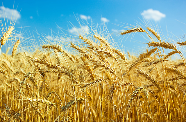 Image: Explaining the science on why wheat consumption leads to psychiatric conditions like schizophrenia