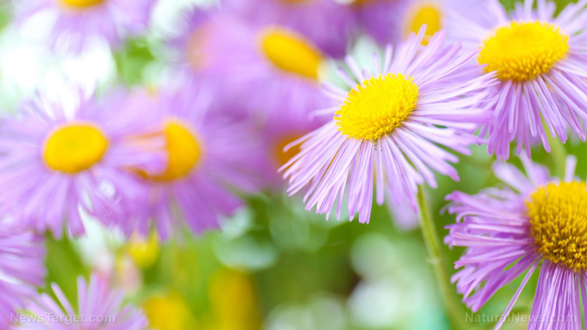 Image: Aster herb found to inhibit growth of cancer cells
