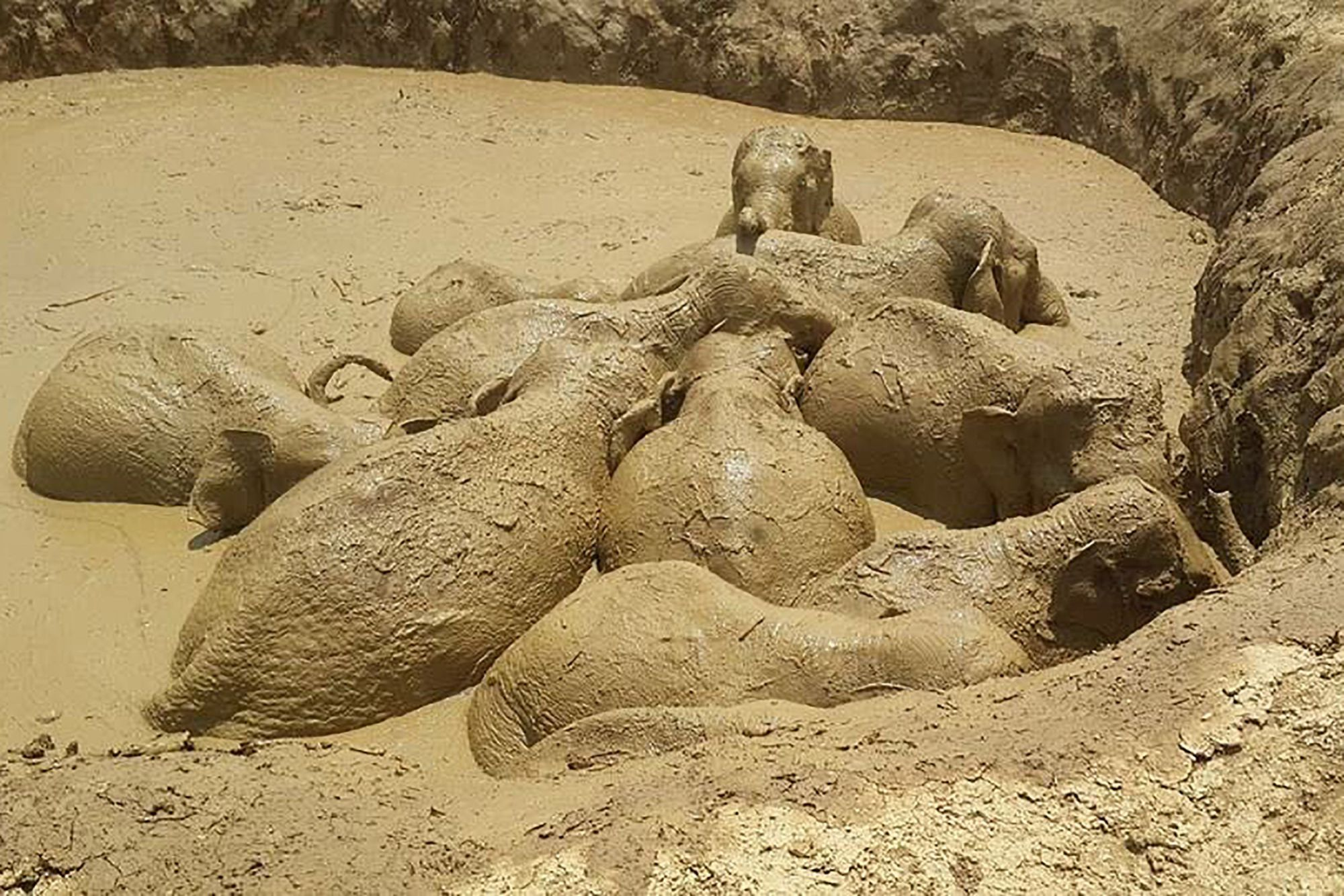 Image: Eleven Asian elephants saved from death in mud hole by grabbing ropes and cooperating with humans