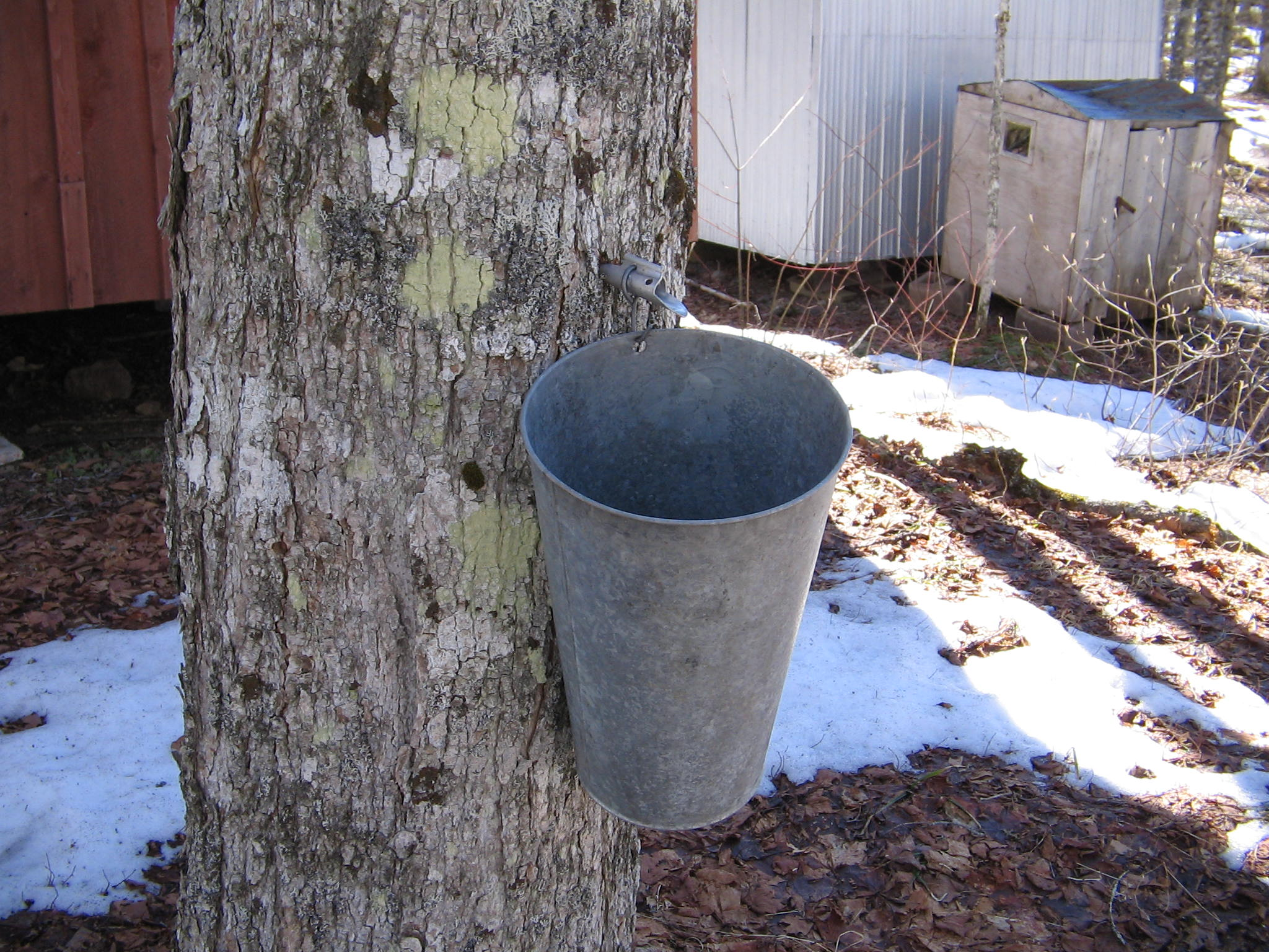 Image: Here's how to tap maple trees (and make your own syrup)