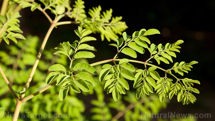 Image: Nourish your body by eating moringa leaves every day