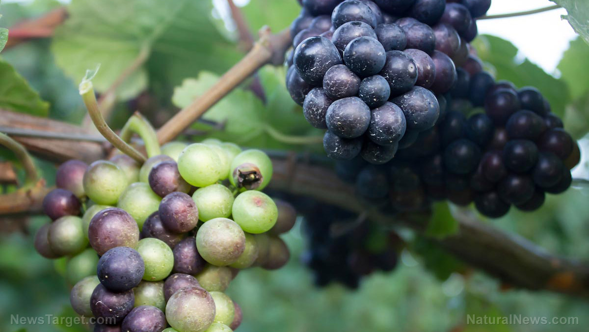 "Image: Grapes have long been hailed as the ""food of the gods"" … they contain powerful antioxidants that protect your health"