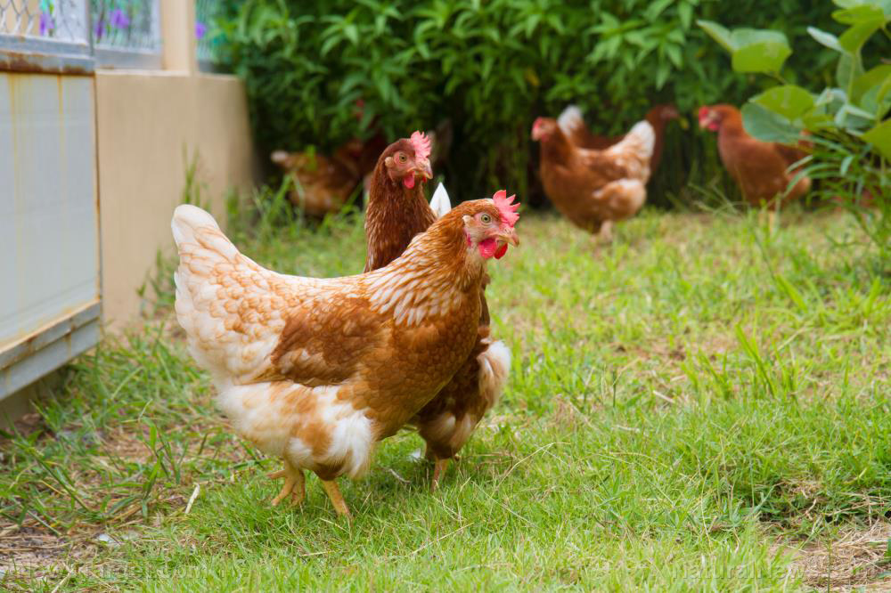Image: The best chicken breeds to keep in your back yard if you live in the city