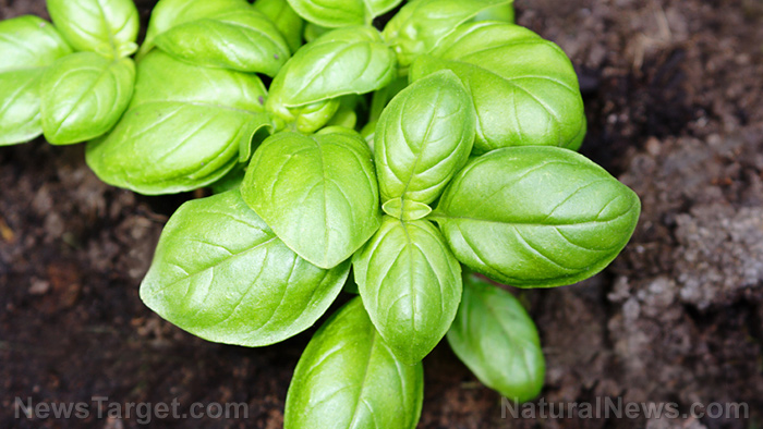 Image: Basil is a healthy, minty treat – especially for those looking to cut back on their cholesterol levels