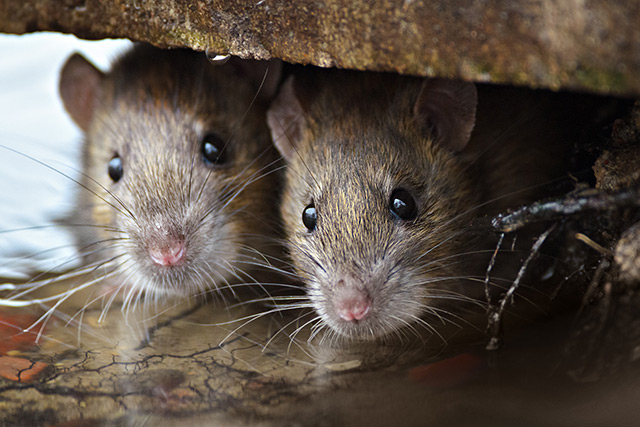 Image: Scientists study the unique reproductive system of the African pouched rat, a clever animal used to detect land mines and tuberculosis