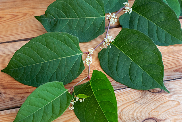 Image: Huge finding: Japanese knotweed can inhibit growth of (and destroy) liver cancer stem cells