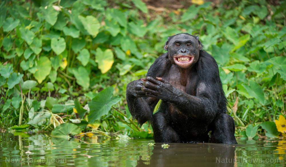 Image: Scientists say chimpanzees use language that follows rules similar to ours