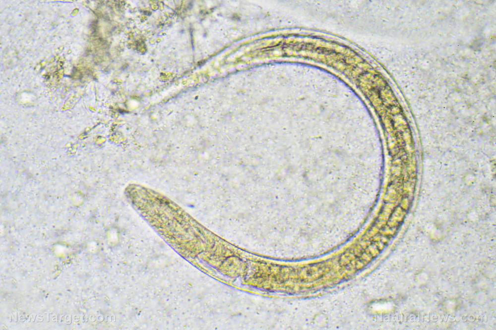 Image: How does metabolism affect aging? Scientists study worms to find out