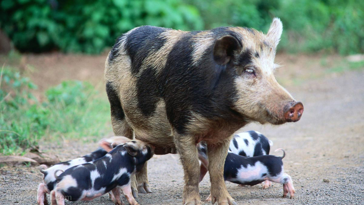 Image: Texas experiment tries to poison feral hogs with sodium nitrite – the same ingredient found in bacon, hot dogs and beef jerky – but ends up poisoning hundreds of birds to death instead