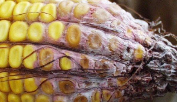 Chronic exposure to aflatoxins is linked to numerous health problems such