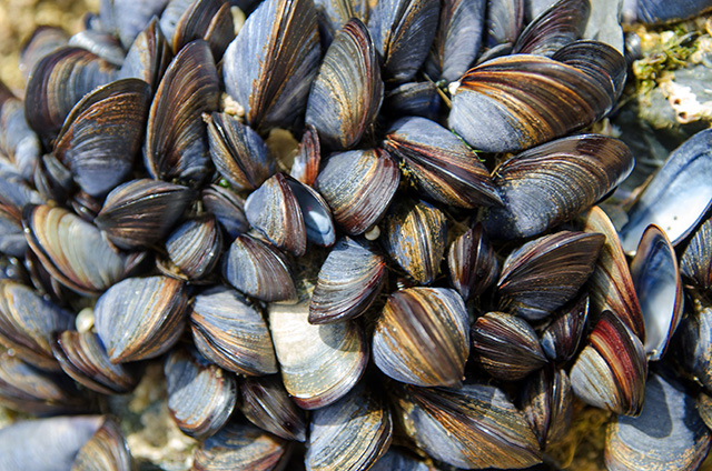 Image: Study reveals how mussels deal with microplastic pollution