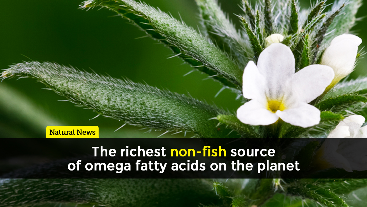 Image: Ahiflower: The richest non-fish source of omega fatty acids on the planet
