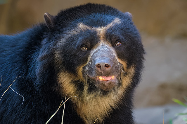 Image: Water cooler talk – Andean bears use water sources not only to drink, but also to communicate with others