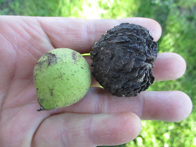 Image: Here are 5 reasons to add black walnuts to your next meal