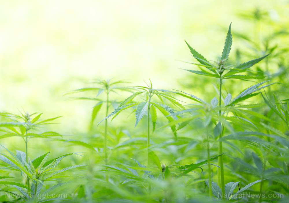 Image: Scientists conduct studies to help farmers successfully cultivate hemp