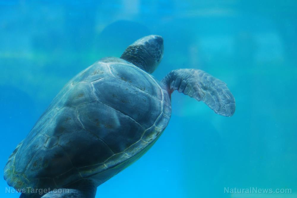 Image: The culprit behind coastal sea turtle die-offs in Australia finally identified: Heavy metals