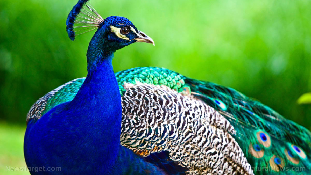 Image: Hiding in plain sight: Peacocks' brightly colored feathers could be camouflage that hides them from predators, suggests study