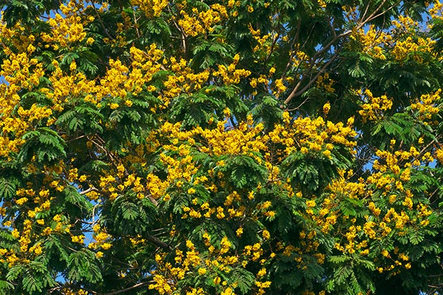 Image: Brazilian ironwood, or leopard tree, found to reduce joint pain