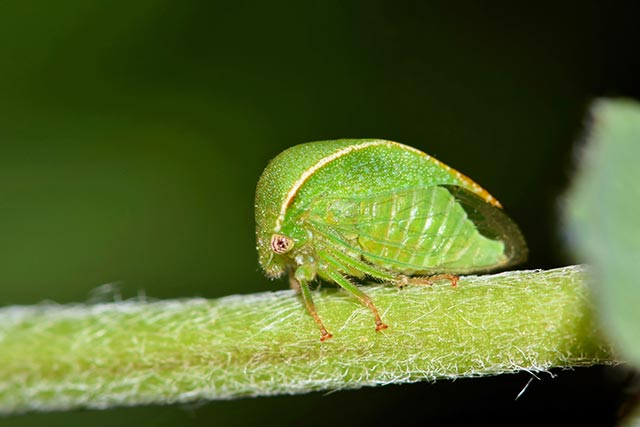 "Image: Planthoppers ""shake their bodies"" to attract their mates"