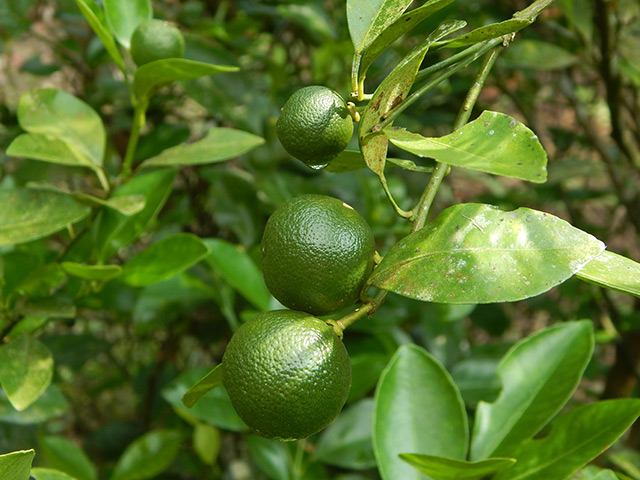 Image: Essential oil of calamondin, also known as Philippine lime, found to have anti-microbial properties