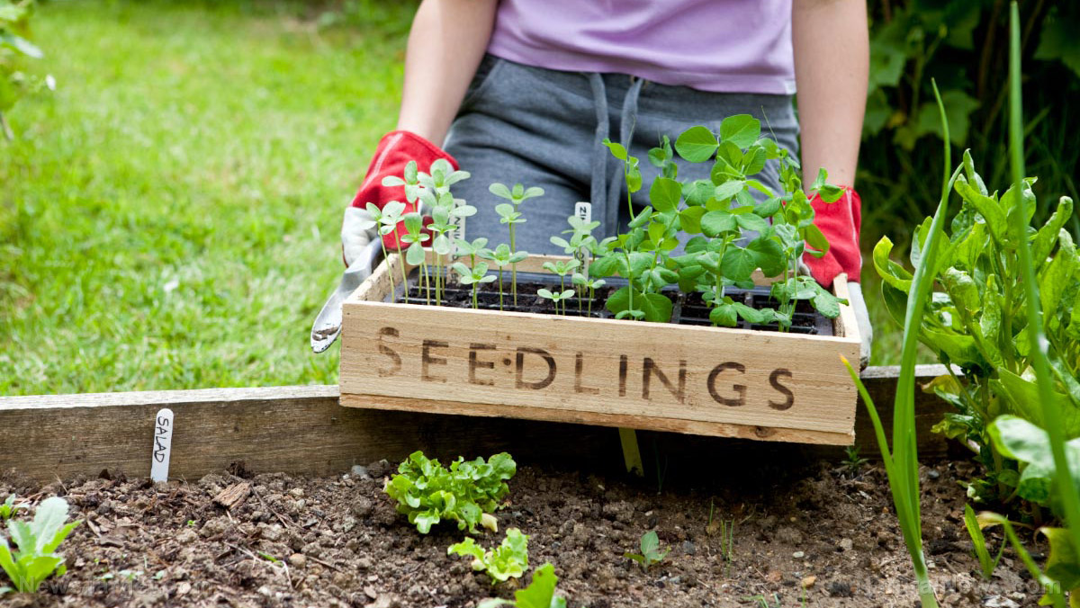 Image: Gardening tips for seedling survival: The benefits of hardening off plants and vegetables
